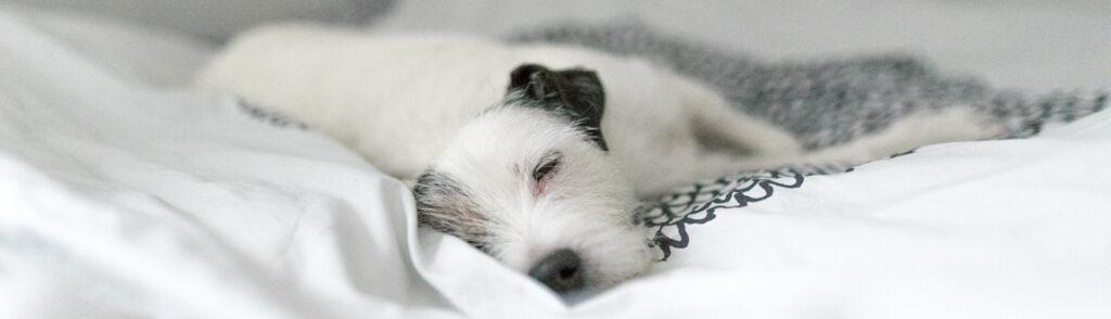 Hunden Telma sover