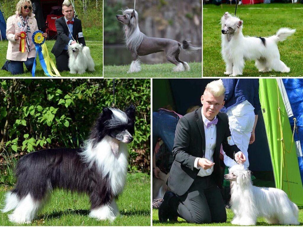 Nakenhund och power puff av Chinese crested dog: Kennel Speechless