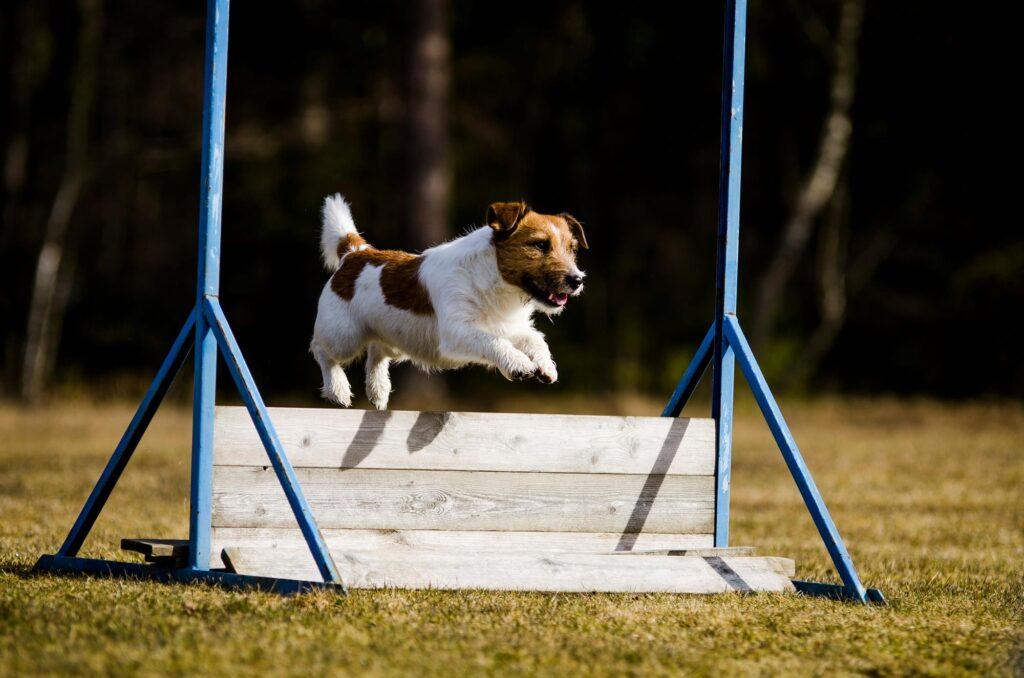 Hunden Yax led av atopisk klåda och fick hjälp av Nutrolin Skin & Coat näringsoljan