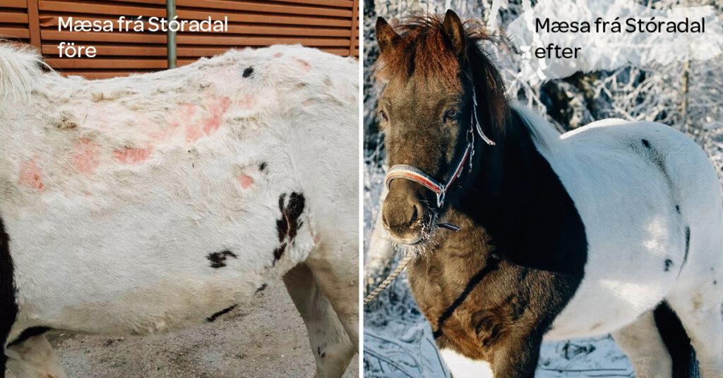 Islandshästen Mæsa led tidigare av svår pälsfällning och klåda
