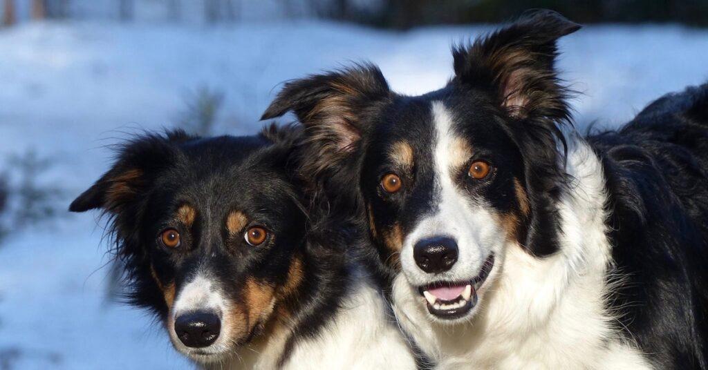 Den aktiva tävlingshunden Zip hålls i skick med rätt kosttillskott