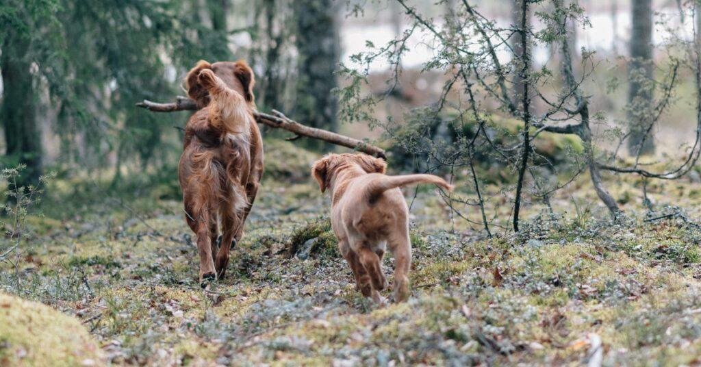 Min hund är dräktig – behöver en dräktig tik kosttillskott?
