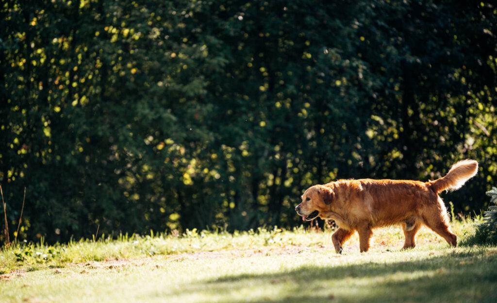 Lider din hund av ledproblem som orsakar hälta och smärta?