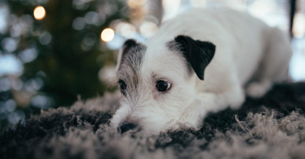 Allergisk hund med hudsymtom? Hjälp via fettsyror