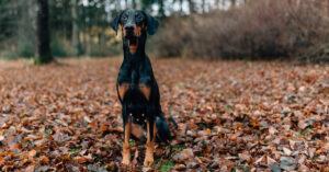 Förbered hunden inför hösten: huden, pälsen, klorna och trampdynorna