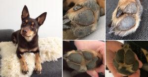 Hunden Lystis trampdynor blev välmående