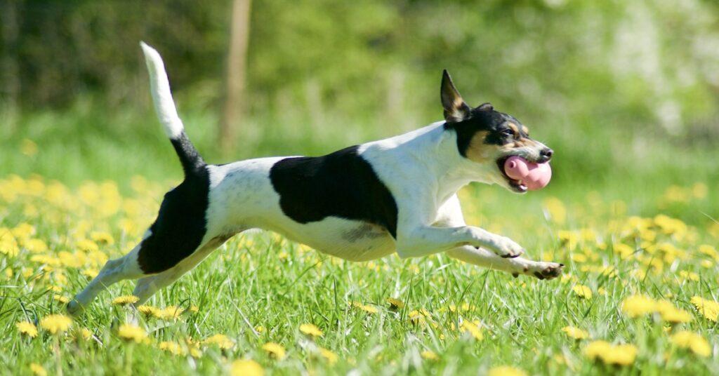 Hunden Nova lider av höfledsdysplasi vilket tidigare försämrade hennes livskvalitet