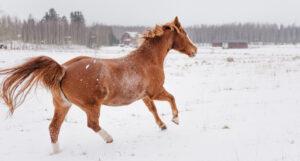 Hästen Miina rör sig lätt igen