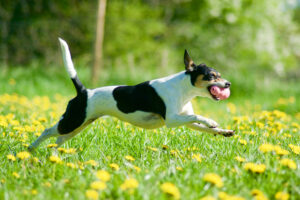 Hunden Nova har höftledsdysplasi