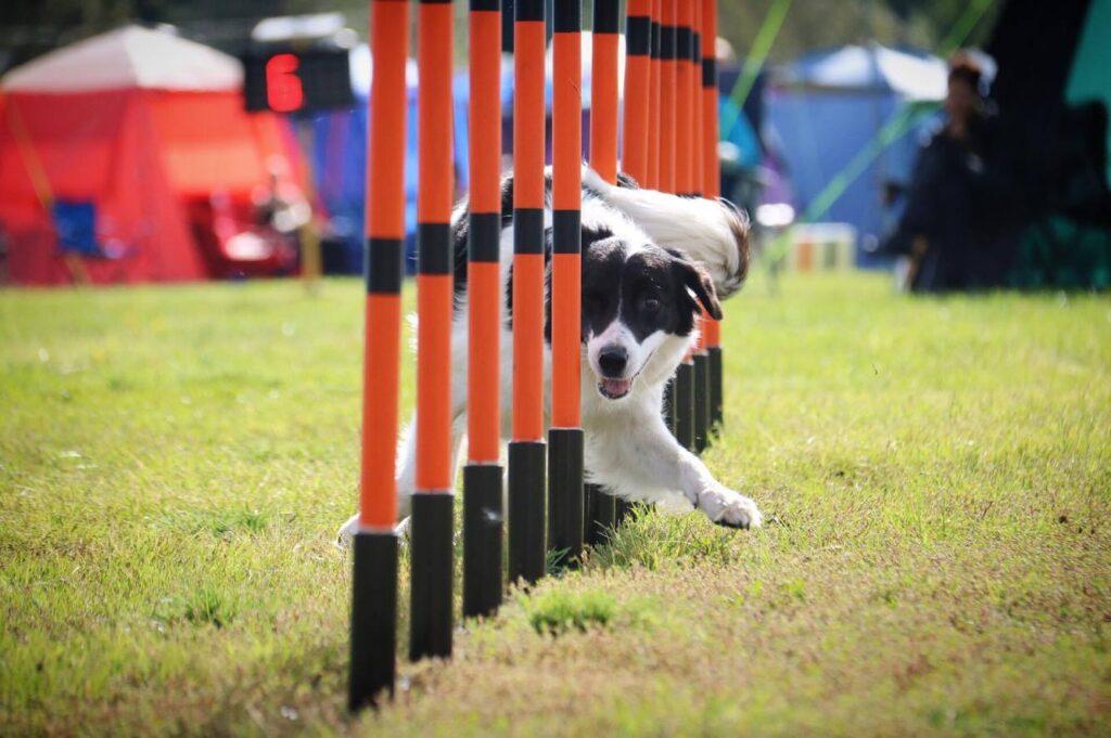Från aktiv tävlingshund till pigg pensionär