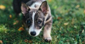Har din hund problem med öronen så som återkommande inflammationer?