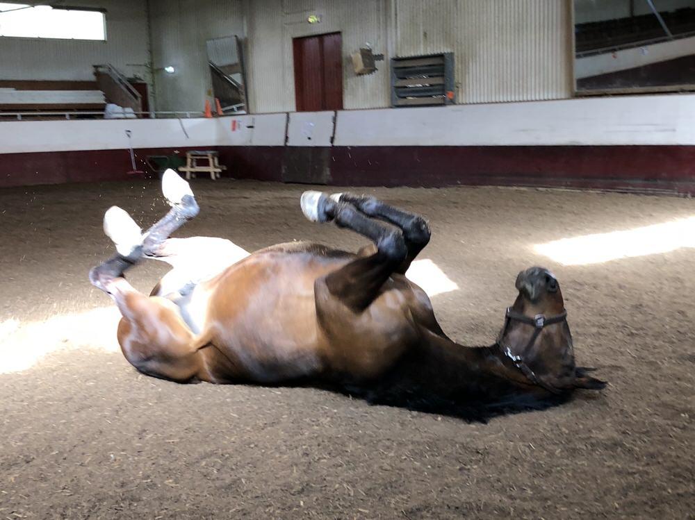Hästen Gun rehabiliteras efter att varit sjuk i EHV-virus