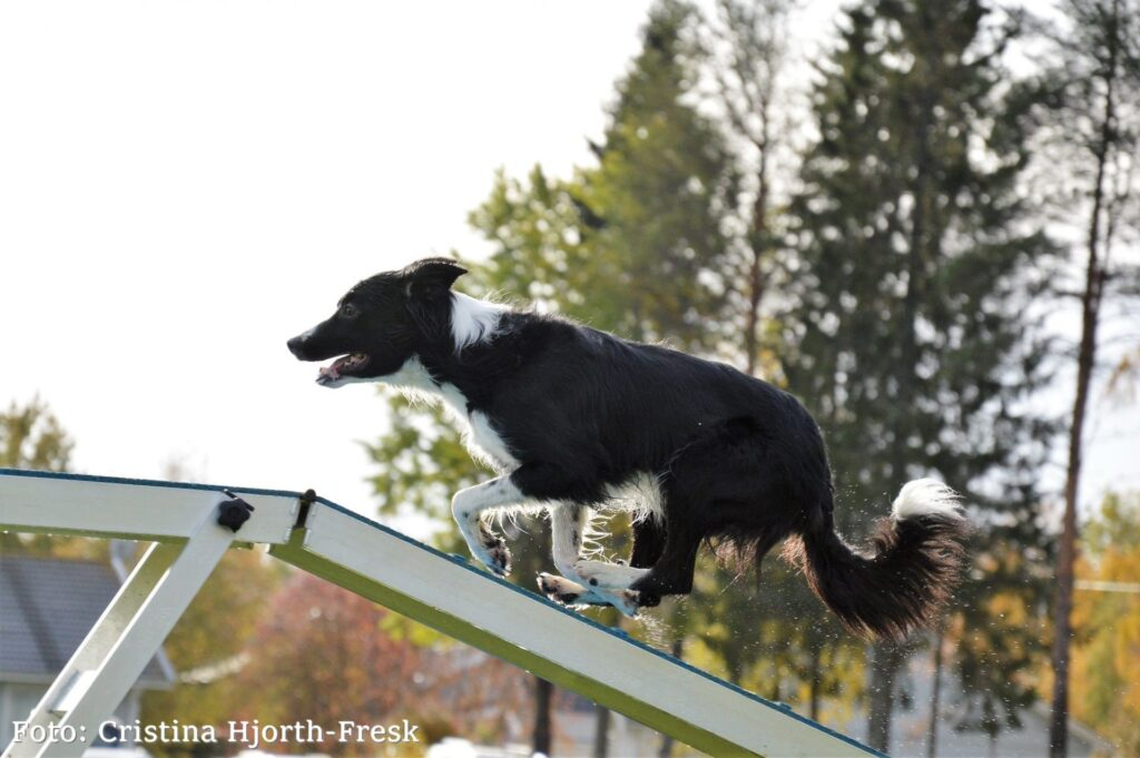 Evelinas aktiva hundar drar nytta av Nutrolin® SPORT-näringsoljan