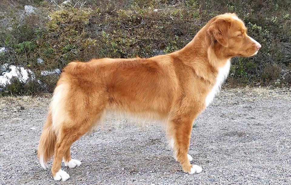 Tollaren Mååyras resa till hundutställningen Crufts