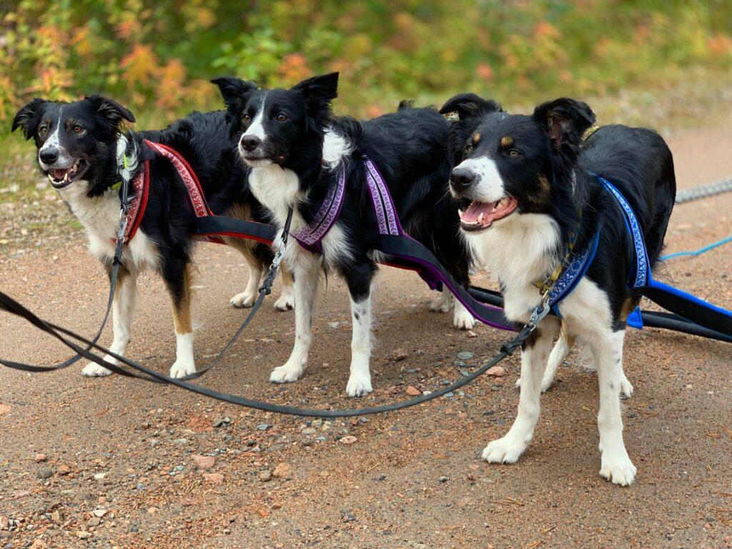 Grundträning med hundarna i koronatider