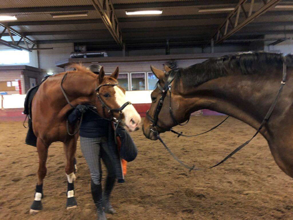 Hästen Gun får ny boxgranne och kompis