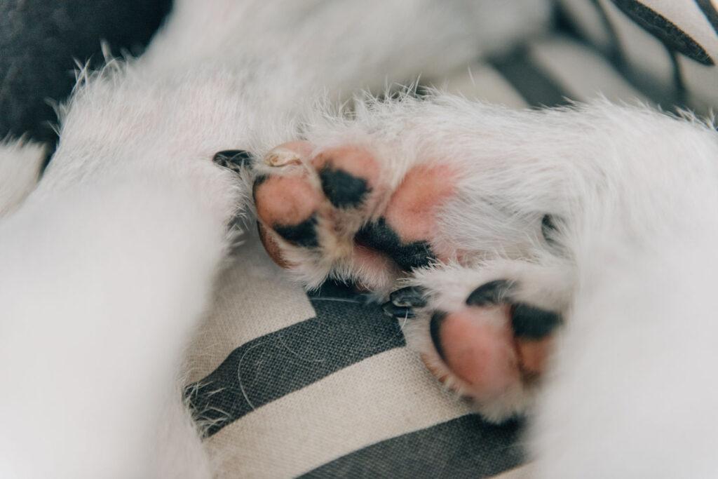 Hundens tasshälsa: friska trampdynor är släta och elastiska