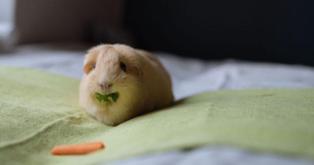 Torr hud hos kaniner och marsvin – kan fettsyretillskott hjälpa?