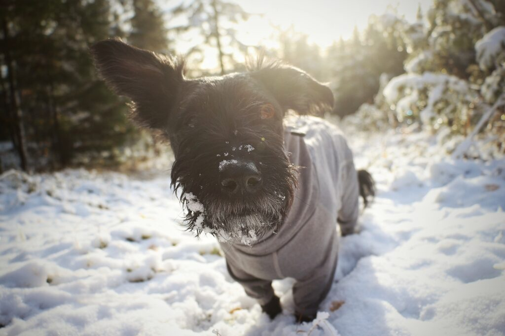 Hunden Kiba har SLO – en sjukdom som gör att klorna lossnar