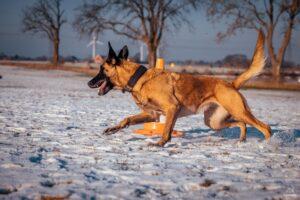 Lydnashunden Belle har stor nytta av kosttillskott