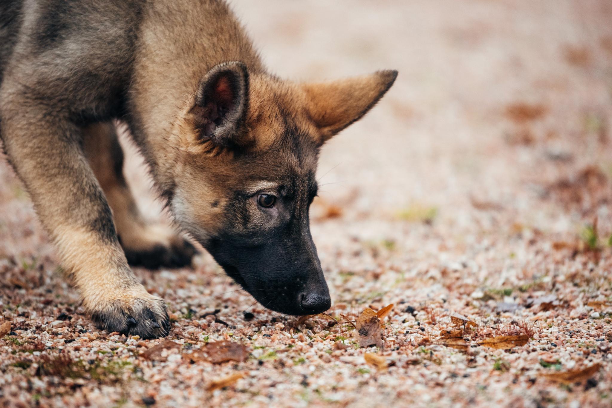 Nosen är ett av hundens viktigaste verktyg