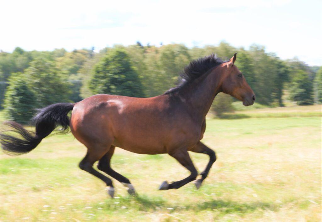 Hästen Gun galopperar