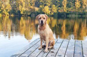 Labradoren Iza hade problem med öronen och tassarna