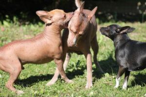 Nakenhundar med vintereksem, finnar och pormaskar
